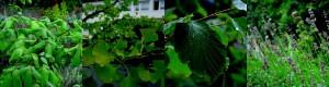 v.l.n.r.: Vom Giftsumach (Rhus toxicodendron) werden Blätter und Stängel homöopathisch aufbereitet (D6) verwendet. Als Einsatzgebiete in Tablettenform gelten für den Ginkgobaum (Ginkgo biloba) Vergesslichkeit, Demenz oder Tinnitus. Zu voller Blüten-Pracht entfaltet sich die Hamamelis (Hamamelis virginiana), besser bekannt als Zaubernuss, erst im Schnee. Die Blüten des Lavendels (Lavandula spica) bergen seine heilenden Kräfte. Foto: Nicole Oppelt