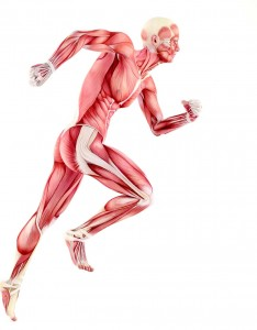 """Der Begriff """"Faszien"""" stammt aus dem Lateinischen und steht für """"Bündel"""" oder """"Band"""". Wie ein Band sorgen die Faszien in unserem Körper dafür, dass Organe und Körperteile an ihrem originären Platz bleiben. Gäbe es dieses Fasziengewebe nicht, würden sie bei jeder unserer Bewegungen durch den Körper purzeln. Foto: ©depositphotos.com/cozm"""